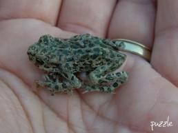 junge Wechselkröte (Bufo viridis)