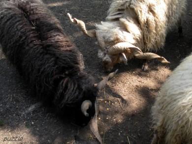 2009-04-19 Steppenzoo Pamhagen 025 Zackelschafe