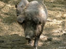 2009-04-19 Steppenzoo Pamhagen 039 Wildschweine