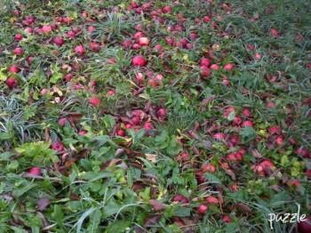 2009-11-2567 ND 070 roteÄpfel, in 'Halbmond am Morgen, Synchron-Schneckeln und kleine rote Äpfel'   2009/11/28 von puzzle