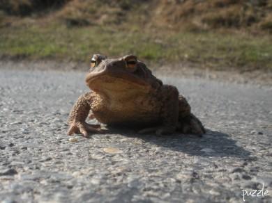 2010-03-24 ND morgens 075 Erdkrötenweibchen