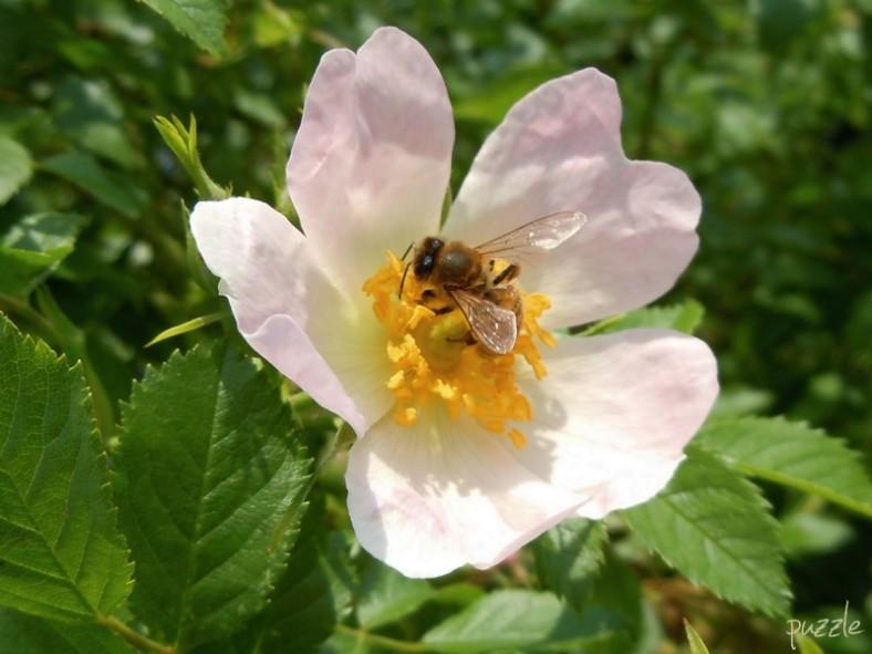 DSCN4272 20100522ND Biene&Hundsrose