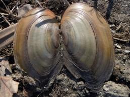 DSCN1257 2011-02-25 bLübbow AlterLandgraben GrTeichmuschel-Anodonta_cygnea