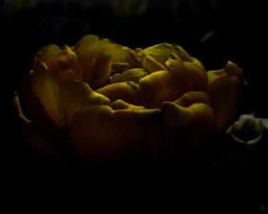 2011-04-13 Tulpe 074