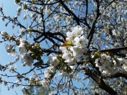 2011-04-18-Sss-050-Kirschbaum.jpg
