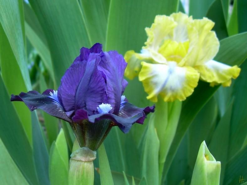 23042008 NDG 011 Iris barbata nana