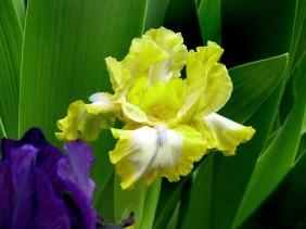 23042008 NDG 012 Iris barbata nana