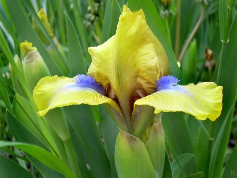 23042008 NDG 014 Iris barbata nana