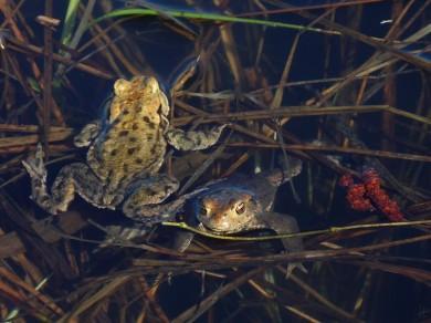 Wechselkröten (Bufo viridis)