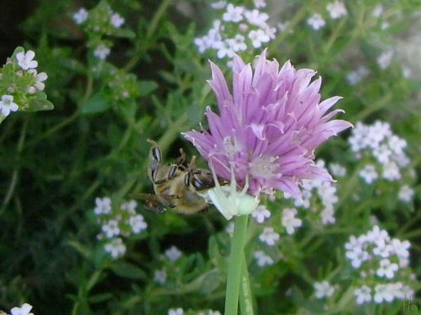 Schnittlauchblüte mit Veränderlicher Krabbenspinne und erbeuteter Biene