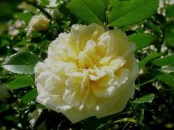 "Ramblerrose ""Albéric Barbier"""
