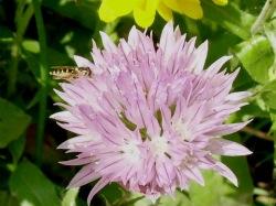 Schnittlauchblüte mit Schwebfliege