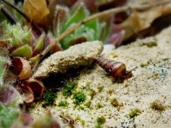 Schließmundschnecke (Clausiliidae)