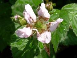 Brombeeren-Blüte