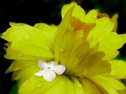 Ringelblume mit Schneeballblütchen