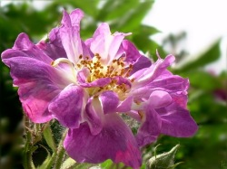 "Ramblerrose ""Veilchenblau"""