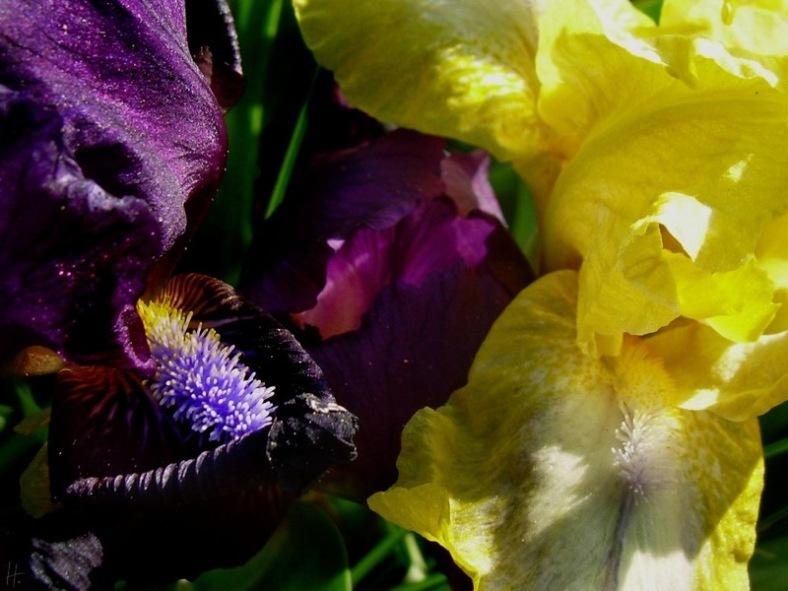 2008-05-03-ND-Garten-2Iris-01.jpg