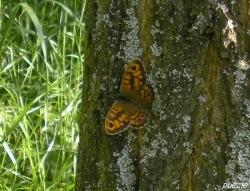 2009-05-11-032-Mauerfuchs_Lasiommata-megera.jpg