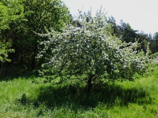 2011-04-30-AmAltenLchowerLandgraben-109-Apfelbaum.jpg