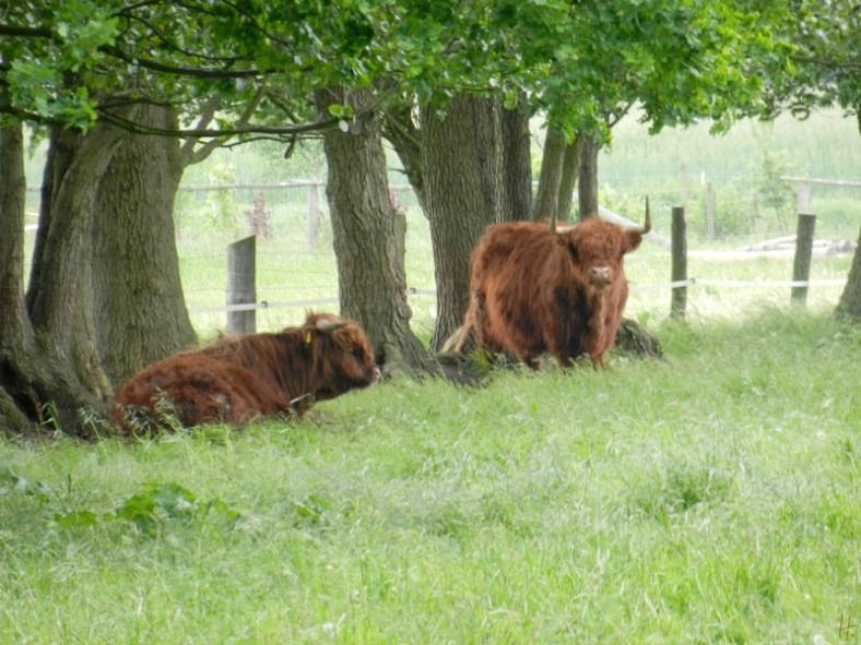 2011-05-017-LchowSss-NikonCoolpixS9100-019-HighlandCattle.jpg