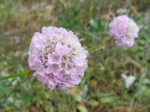 2011-05-12 BöselerWald NikonCoolpixS9100 041 Sand-Grasnelke Armeria maritima subsp. elongata