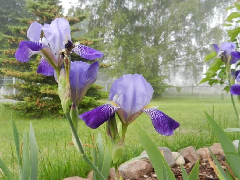 2011-05-21-8Uhr30morgens-LchowSss-Garten-041-Bartiris_violett.jpg