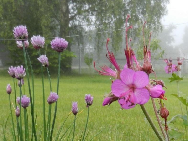 2011-05-21-8Uhr30morgens-LchowSss-Garten-042-SchnittlauchGeranium.jpg