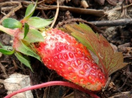 2011-05-29-LchowSss-Garten-043-Erdbeere-Fragaria-ananassa-Camara-F1.jpg