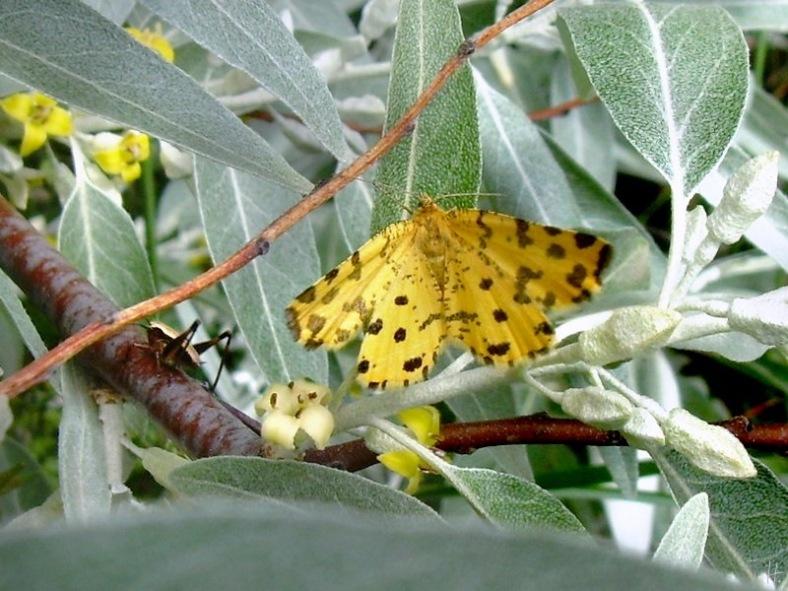 22052008-ND-Umg-Oelweide & Pantherspanner o. Gelber Fleckenspanner (Pseudopanthera macularia)-05.jpg
