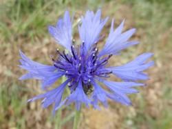 Kornblume – Centaurea cyanus