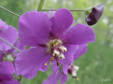 DSCN3441-VioletteKnigskerze.jpg