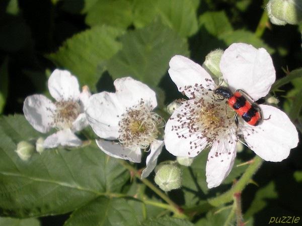 Mitte-Mai-2009-090-BienenwolfBrombeerblte_BruckLeitha.jpg