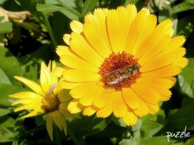 2009-06-30-NDGarten-026-Ringelblumen_Calendula.jpg