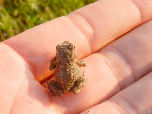 European toad – Bufo bufo – Erdkröte