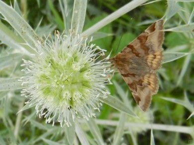 2011-07-12 bMeetschow 024 Feldmannstreu Eryngium_campestre+BrauneTageule Euclidia_glyphica