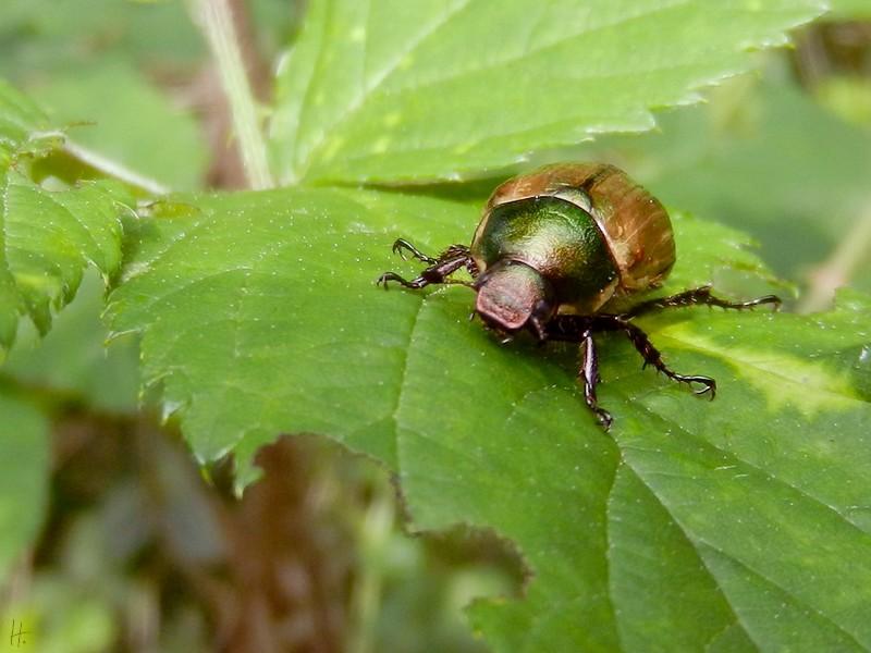 2011-07-13 Lucie b. Kl. Breese-Liepe Gartenlaubkäfer (Phyllopertha horticola)