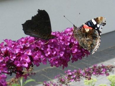 2011-07-19-LchowSss-Garten-145-TagpfauenaugeAdmiralBuddleija.jpg