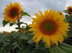 DSCN8210 2010-07-06ND Sonnenblumen