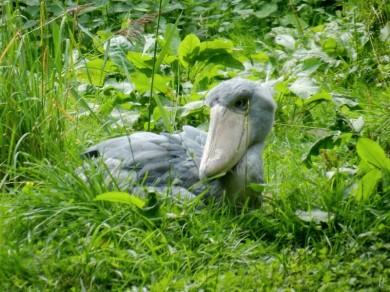 2011-07-28 Vogelpark Walsrode 073 Schuhschnabel