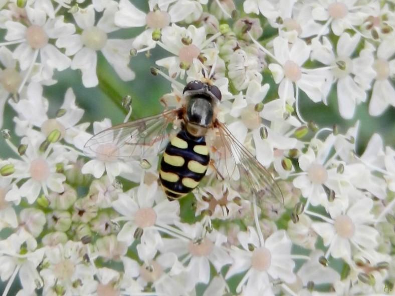 Feldschwebfliege Eupeodes_corollae
