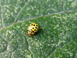 Zweiundzwanzigpunkt- oder Pilz-Marienkäfer - Psyllobora vigintiduopunctata