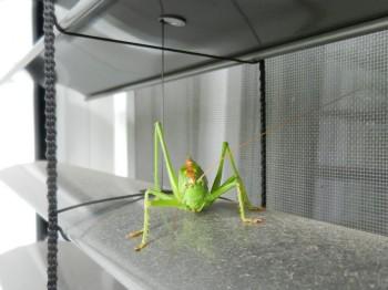 Heuschrecke am Küchenfenster | Veröffentlicht am 2011/08/27 von puzzle ❀