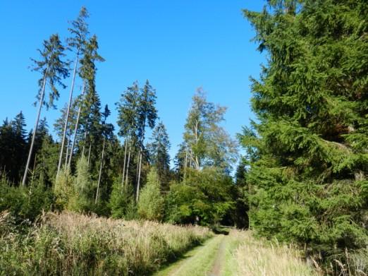 Fichtenwald bei Schleiz