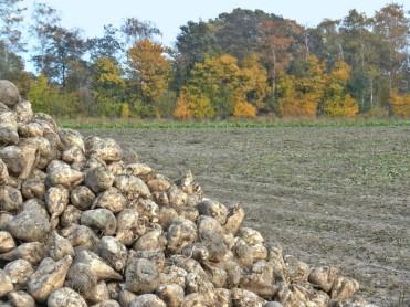 2011-10-30 LüchowSss 092 Zuckerrüben