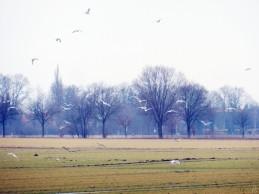2012-02-28 bBanneick-Königshorst 001 Heringsmöwen