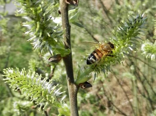 2012-03-26 LüchowSse 020 Weidenkätzchen+Biene