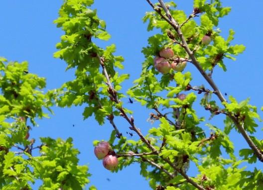2012-04-25 LüchowSss 231 Galläpfel der Gemeinen Eichengallwespe Cynips quercusfolii