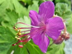 2012-05-18 LSss Garten 050 Geranium pratense