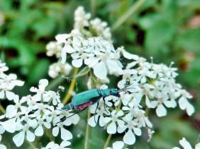 ZweifleckigerZipfelkäfer - Malachius bipustulatus