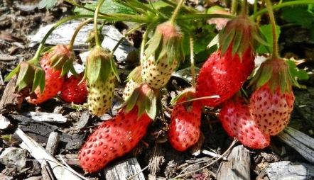 2012-05-28-LchowSss-083-PinkStrawberry.jpg